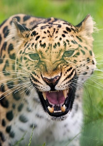 Roar of a Leopard