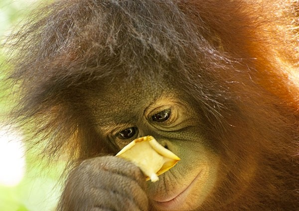 Orangutan closely inspecting a flower
