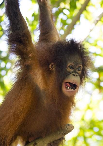 Bornean Orangutan playing