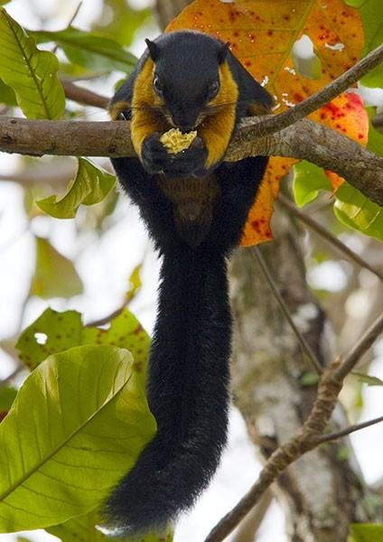 Black Giant Squirrel - breakfast in the rainforest