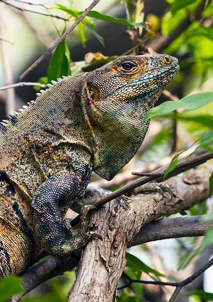 Mature Black Iguana hiding in the rainforest foliage