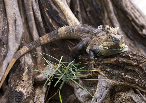Black Iguana basking on the roots of a fig tree