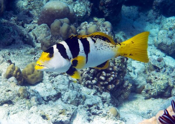 Blacksaddled Coral Grouper