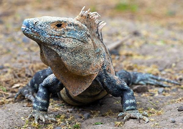 Giant of the beach - Black Spiny-tailed Iguana