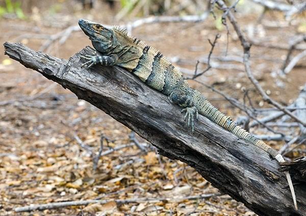 Black Spiny-tailed Iguana - Perfect Perch