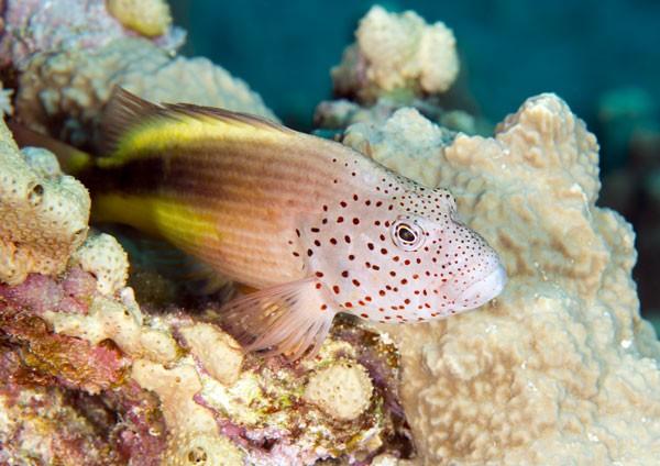 Canvas Tropical Fish - Blackside Hawkfish Close-up