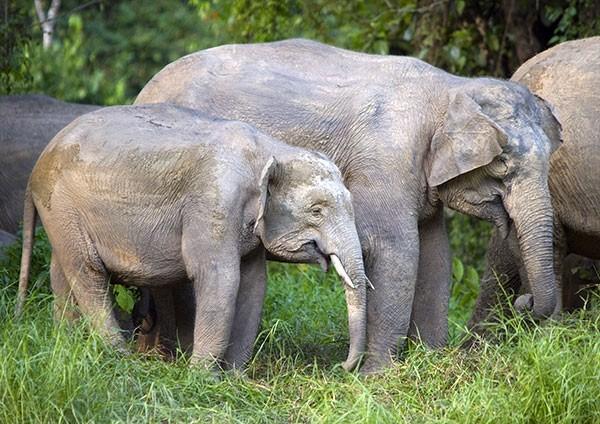 Borneo Elephant calf