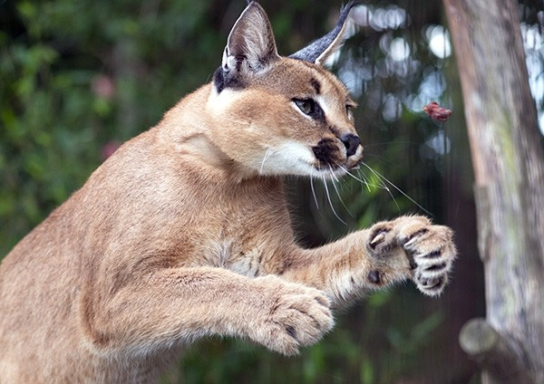 Concentration - amazing skill of a Caracal