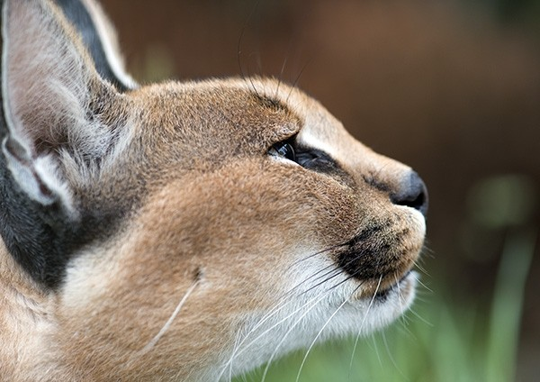 Caracal Close-up
