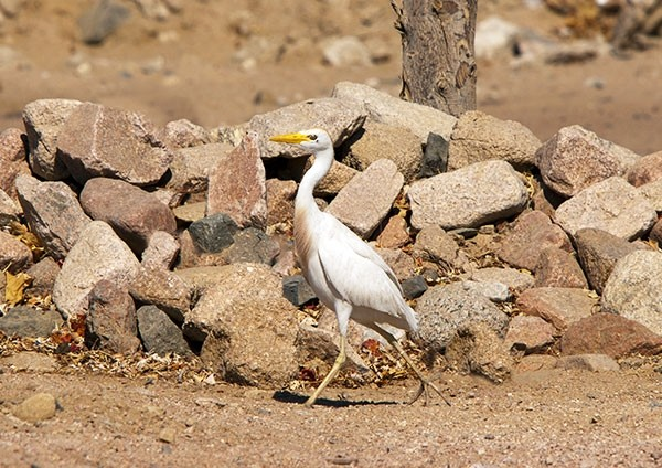 Egret striding along a Desert Trail