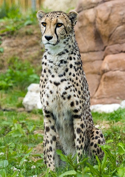 Cheetah poised in the grass