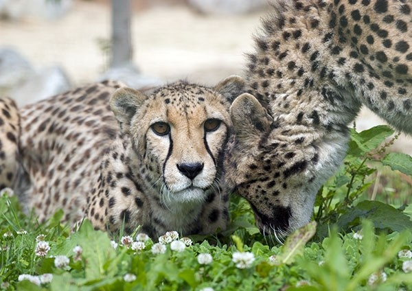 Affectionate Cheetah greeting its sibling