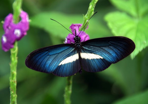 Chesterton's Longwing