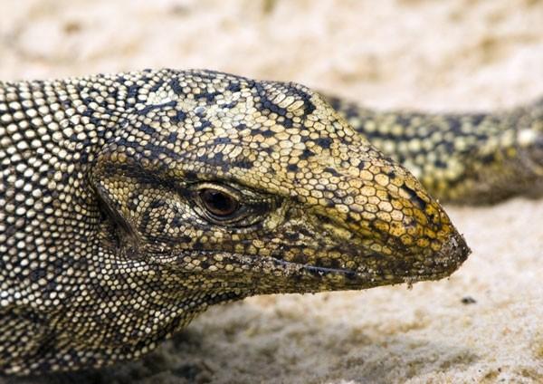 Monitor Lizard basking in the sun on a coral seashore