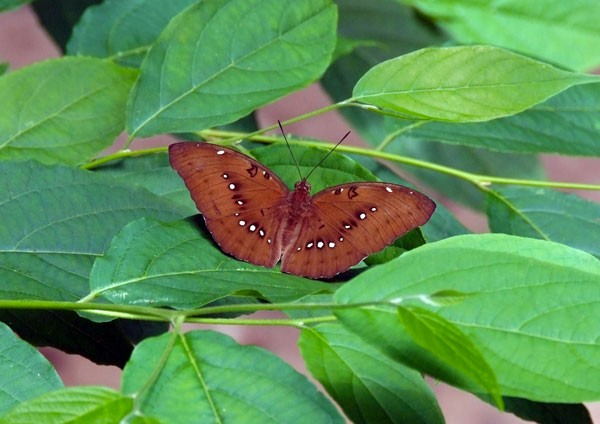Common Faun Butterfly