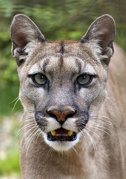 Cougar - predatory eyes