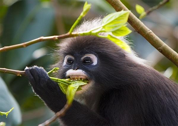 Dusky Leaf Monkey feeding