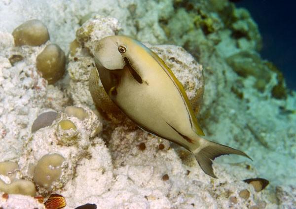Epaulette Surgeonfish
