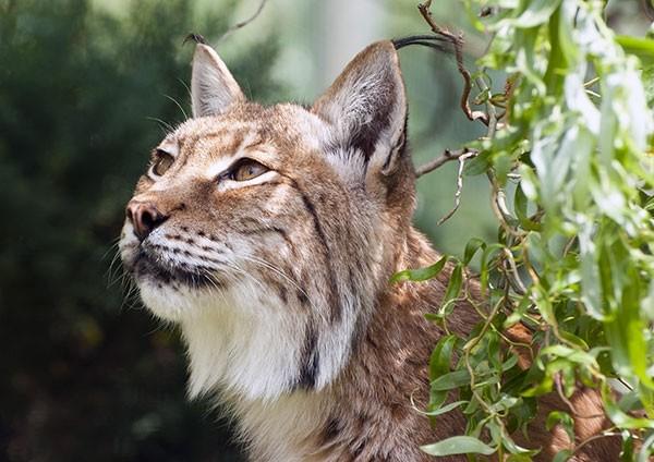 Eurasian Lynx close-up
