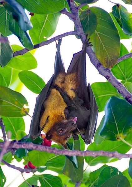 Giant Fruit Bat
