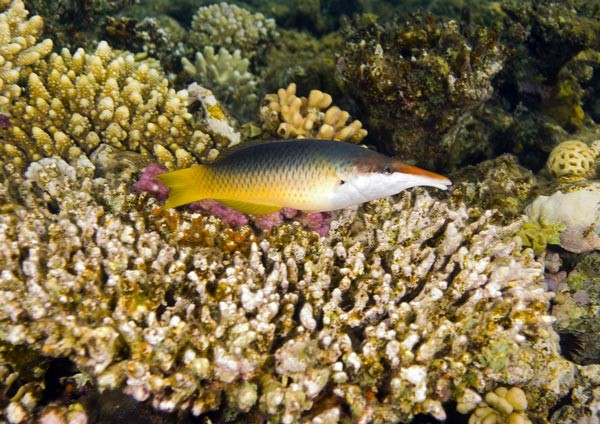 Green Birdmouth Wrasse (female)