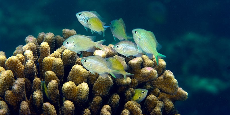 Green Chromis sheltering in a cauliflower coral