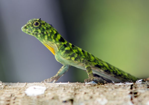 Green Crested Lizard stalking prey