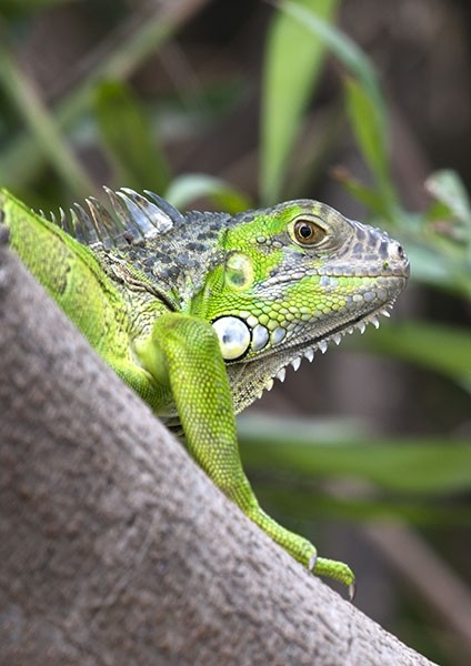 Green Iguana Close-up