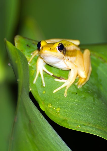Green Paddy Frog perched on a Water Hyacinth