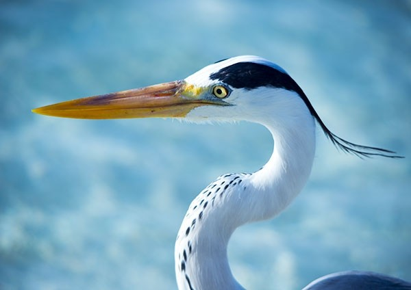 Grey Heron Close-up
