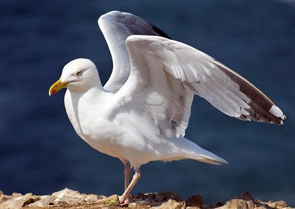 Herring Gull drying its wings