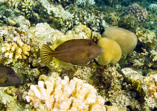 Honeycomb Filefish