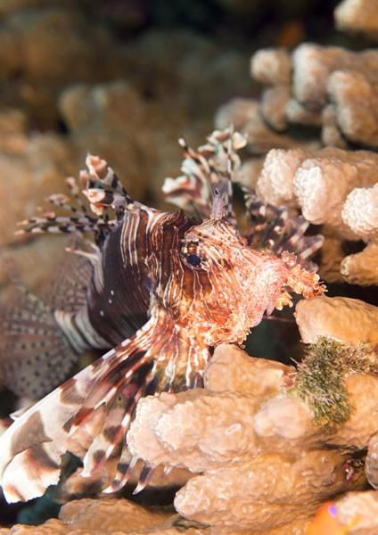 Indian Lionfish
