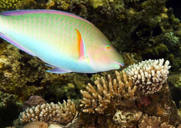 Indian Longnose Parrotfish