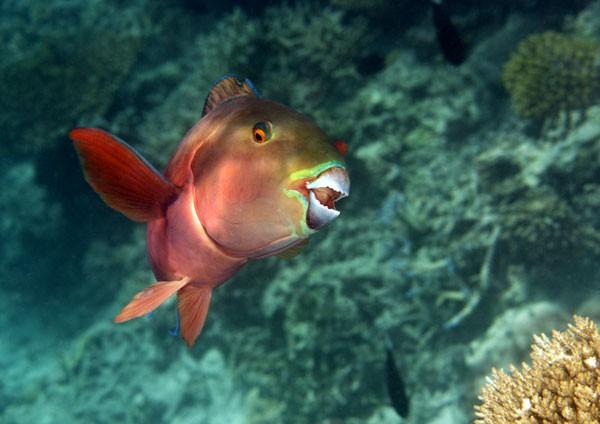 Indian Ocean Steephead Parrotfish