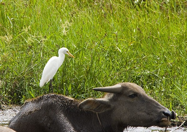 Intermediate Egret on a Water Buffalo