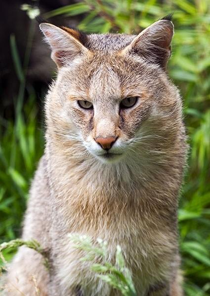 Jungle cat in contemplation