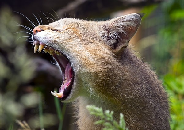 Jungle Cat yawning
