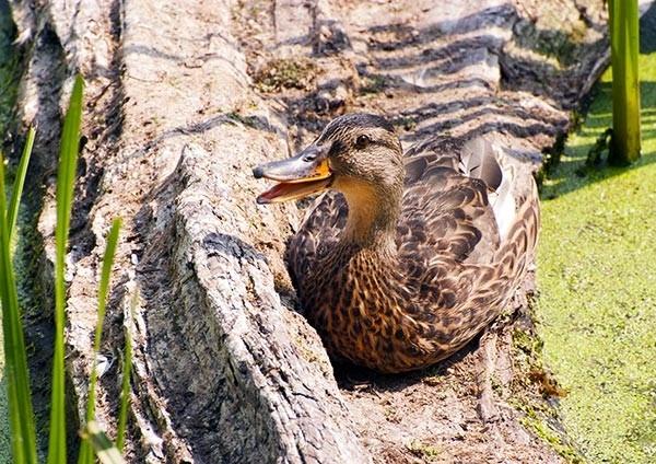 Mallard female quacking