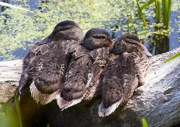 Mallard ducklings trio