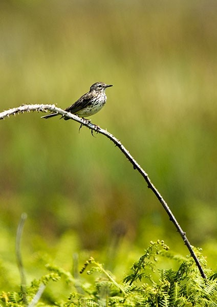 Pipet in a meadow perched on bramble