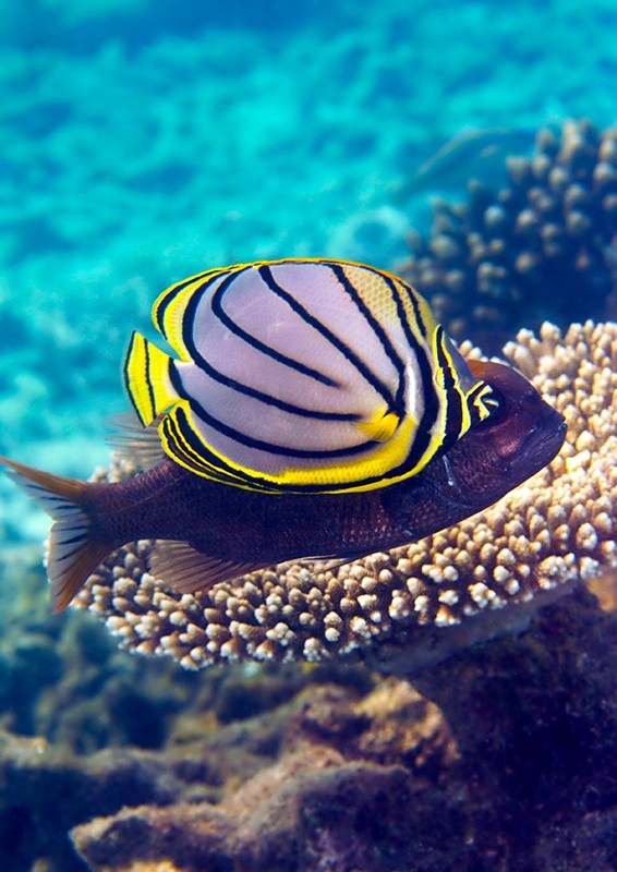 Meyers Butterflyfish hovering by Table Coral