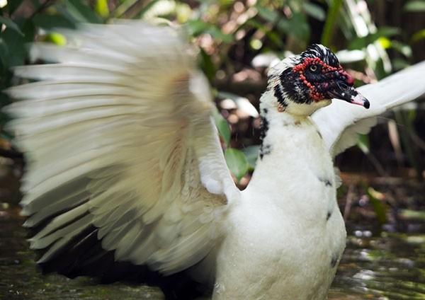 Muscovy Duck fanning its wings