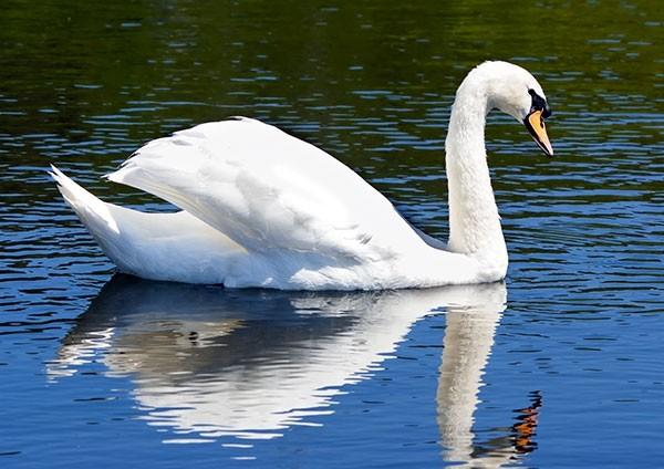 Swan Busking