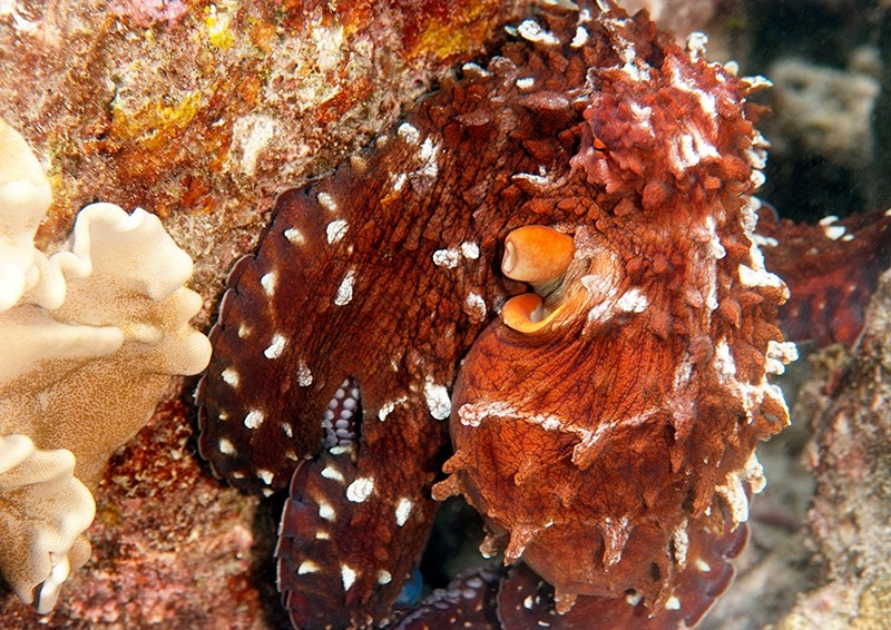 Octopus displaying red & white colours