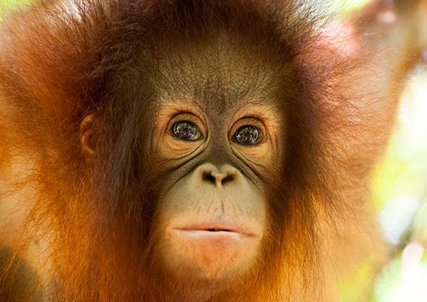 Baby Orangutan with expressive beautiful eyes