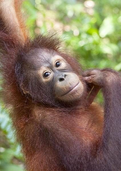 Orang-utan contemplating mischief in the rainforest