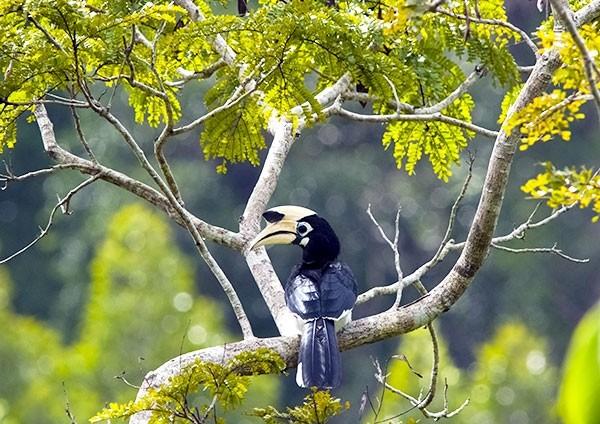 Hornbill in the Rainforest