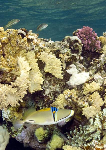 Picassofish (PicassoTriggerfish)