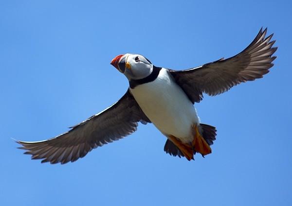 Common Puffin in flight